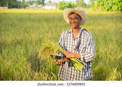 happy Thai female farmer harvesting rice in countryside Thailand