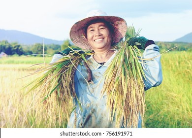 happy Thai female farmer harvesting rice in countryside Thailand