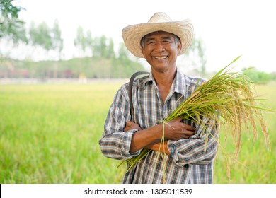 Happy Thai male farmer harvesting rice in countryside Thailand.