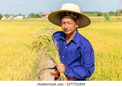 Happy Thai male farmer harvesting rice in countryside Thailand