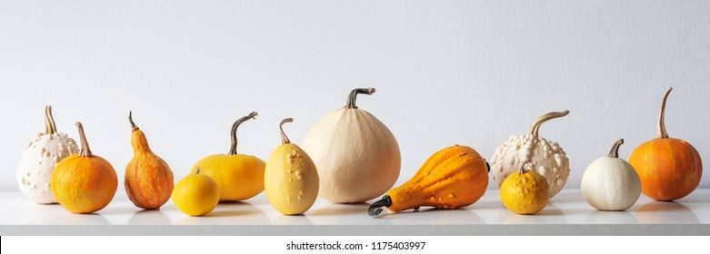 Happy Thanksgiving Background. Selection of various pumpkins on white shelf against white wall. Modern seasonal room decoration. Pumpkins banner. Minimalism autumn concept.