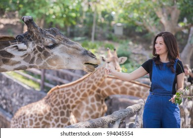 Happy Time - Asian woman watching and feeding giraffe in zoo.