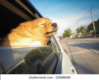 Happy time. Dog feels happy when she gets into the car for travel.