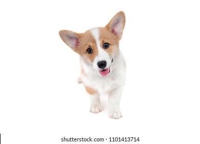 happy tongue panting corgi puppy standing isolated white background