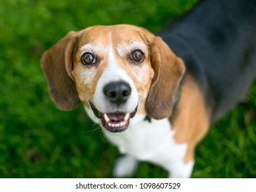 A happy tricolor Beagle dog looking up