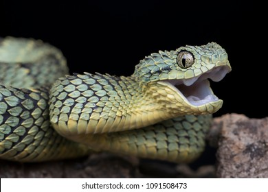 Happy Venomous Bush Viper Snake (Atheris squamigera)