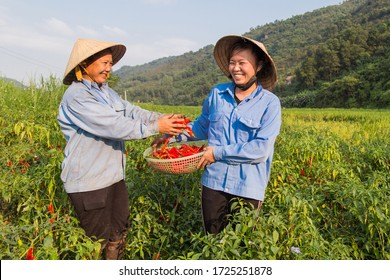 Happy Vietnamese woman farmer harvesting red pepper chili on the field.