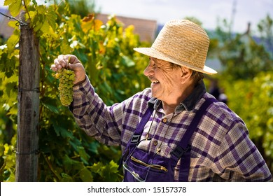 Happy vintner in french straw examining the grapes during the vintage.