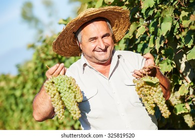 Happy vintner with grape bunch in vineyard during the vintage
