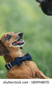 Happy Weiner dog with bow tie looking at a toy above.