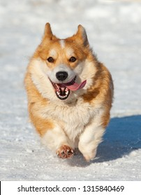 Happy welsh corgi dog running in winter