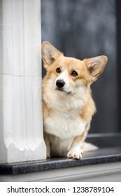 happy Welsh corgi dog stay on window. black window miror background