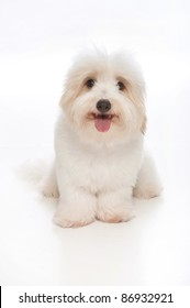 A happy, white, 7 month old Coton de Tulear dog, sitting & looking into the camera. This rare breed is related to the Bichon Tenerife & Tenerife Terrier. Studio shot is isolated on a white background.
