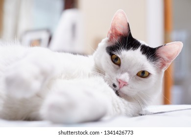 A happy white cat with black markings and yellow eyes is relaxing on a bed with his paws forward