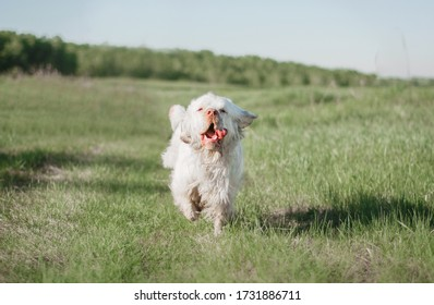 happy white dog clumber spaniel runs on a meadow in a summer field
