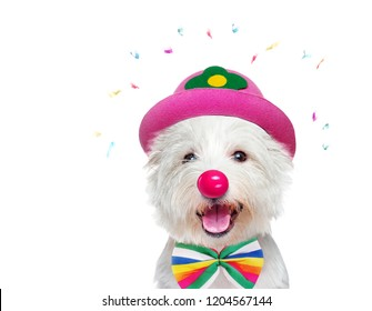 Happy white dog wearing clown outfit