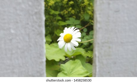 Happy white flower by a fence.