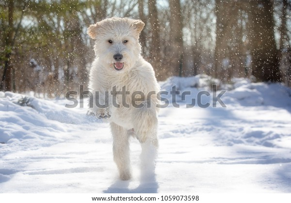 Happy White Golden Doodle Dog Stands Stock Photo (Edit Now