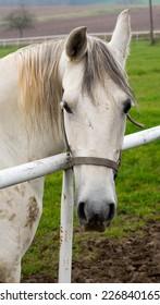 Happy white horse posing
