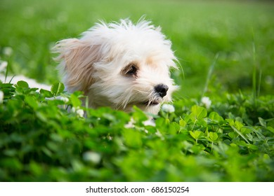 Happy white puppy lapdog peeking out of the green grass in the summer