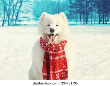 Happy white Samoyed dog on snow in winter day