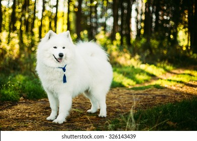 Happy White Samoyed Dog Outdoor Portrait in Forest, Park