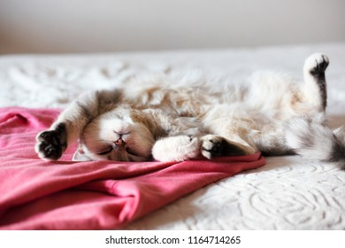 happy white Scottish cat sleeping on big bed