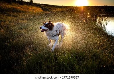 happy white shepherd dog swimming in lake in summer sunset
