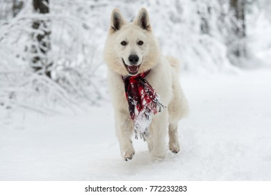 Happy white Swiss shepherd dog with red scarf in the snow on a winter day