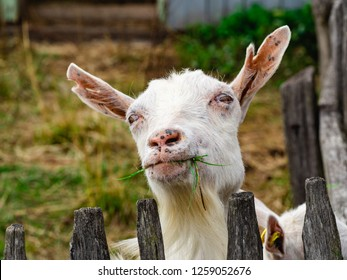 Happy white-bearded billy goat chewing on tasty fresh green grass