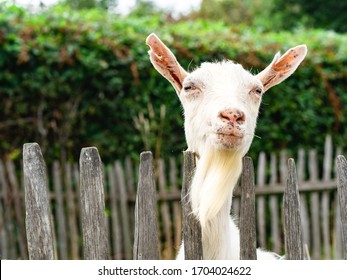 Happy white-bearded billy goat looking from beyond the fence