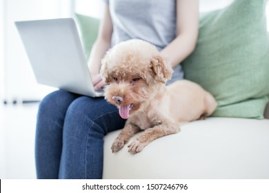 Happy woman holding her yorkshire terrier on the couch using laptop at home in the living room