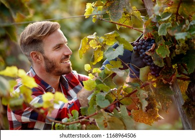 happy worker picking black grapes on family vineyard