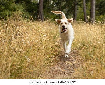 Happy yellow lab dog running in meadow of long grass