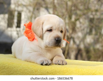happy yellow labrador puppy on the yellow background
