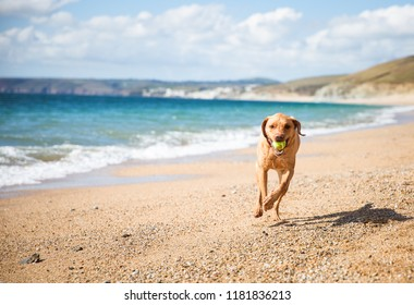 A happy, yellow Labrador retriever dog running free on a sandy beach whilst on summer vacation and fetching a tennis ball with copy space