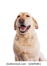 Happy Yellow Labrador Retriever head shot yes closed smiling isolated on white