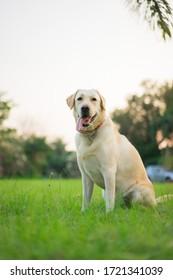 Happy yellow Labrador Retriever sitting in the park
