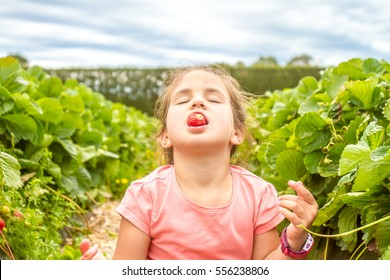 happy young child girl picking and eating strawberries on a plantation
