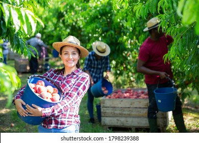 Happy young hispanic woman holding freshly picked peaches in plastic bucket during harvest in farm orchard