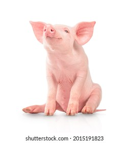 Happy young pig isolated on white background. Funny animals emotions.
