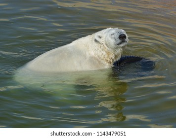 Happy young polar bear in water with car tire. Finnish Lapland