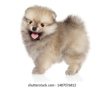 Happy Zwerg Spitz puppy in stand on white background. The theme of baby animals, side view