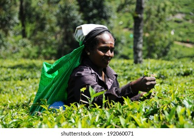 HAPUTALE, SRI LANKA - 24 Jan 2014 : Female tea picker in tea plantation in Haputale on January 24 2014. Directly and indirectly, over one million Sri Lankans are employed in the tea industry.