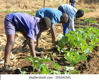 Harare,Zimbabwe,July 16 2015.  Group of  school  children  in  school uniform tending   bed  of  vegetables at school..