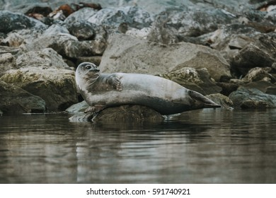 Harbor seal around the waters of Svalbard, Spitsbergen, Norway.