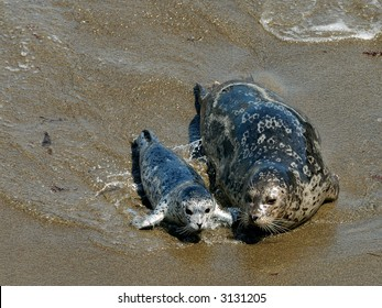 Harbor Seal and Her Pup at Point Lobos, California