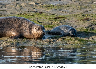 A Harbor Seal mother and pup rest on the shores at Elkhorn Slough along the Monterey Bay of the Pacific Coast in central California.