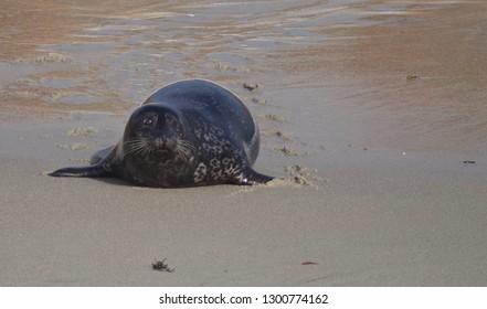 Harbor Seal on the Beach