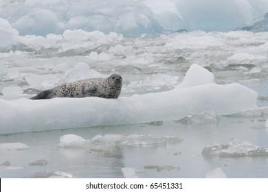 A Harbor Seal on an iceberg in Tracy Arm Alaska